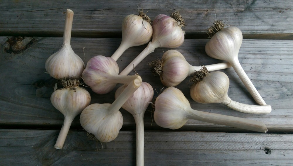 2015 Garlic For Sale